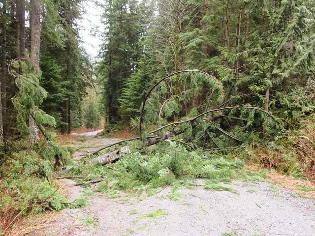 Fallen Tree on Powerhouse Road