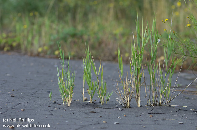reeds breaking through tarmac