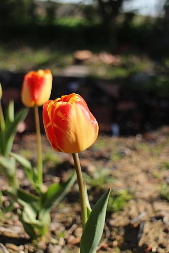 Huerto Los Tulipanes