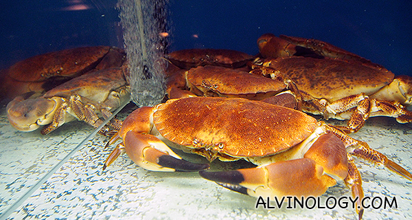Live Scottish brown crabs