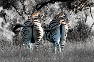 Wild Plains Zebras-synchronised!