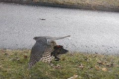 Northern Goshawk with woodpecker for breakfast