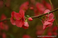 Japanese Quince On A Branch