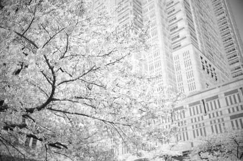 Cherry blossom light