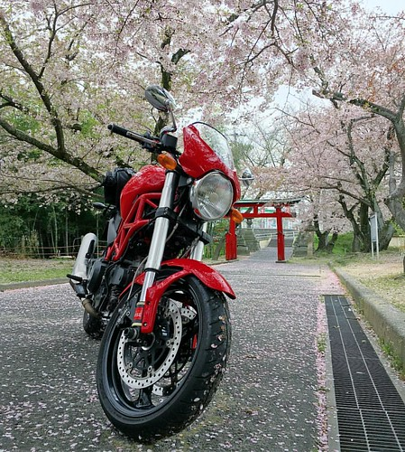 桜吹雪〜!!一眼レフカメラを持ってくるべきだった!! #桜とDucati #ducati #ducatimonster #sakurablossom #japan #japanese #shintoshrine