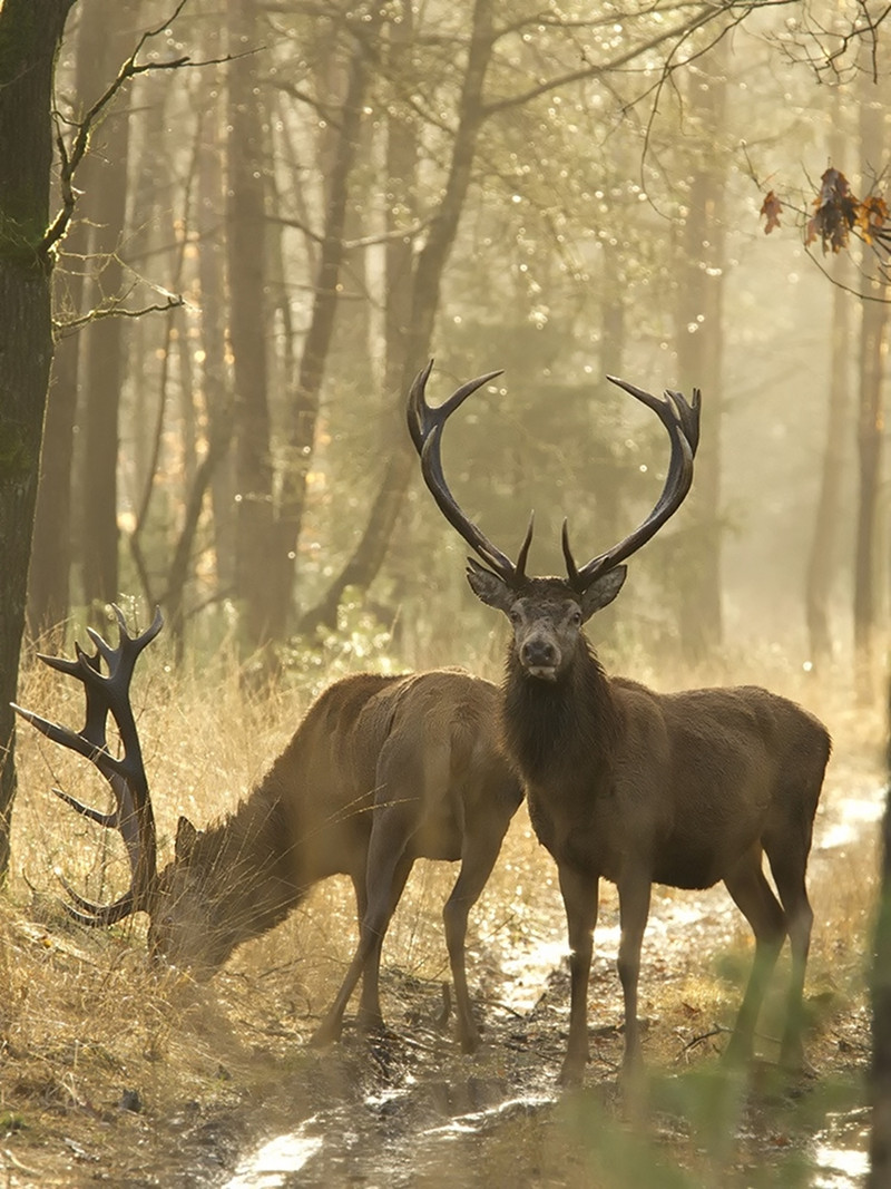Red Deer. Credit Hans Drijer