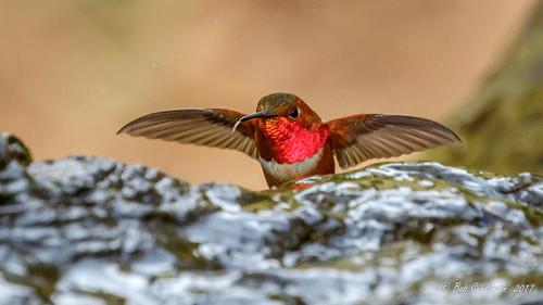 Allen's Hummingbird [Explored]