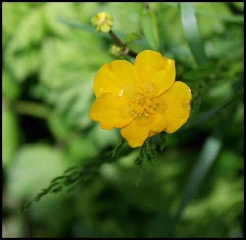 Ranunculus repens - renoncule rampante 33494910193_809c5039f3