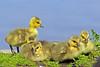 Canada Geese Goslings 17-0430-4135 by digitalmarbles