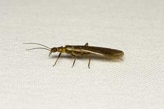 Plecoptera sp. (Stonefly) Everett WA