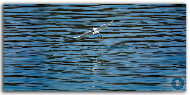 The egret's flight over Man Sagar lake to prey!