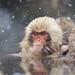 Japanese Macaques (Dani Free)