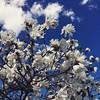 Star magnolia. #seasons #spring #walk #minnesota #brightensmyday