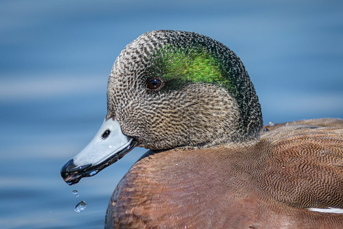 americanwigeon cambridge duck wildlife oakleystreet river nature waterfowl anasamericana choptankriver portrait drake maryland unitedstates us