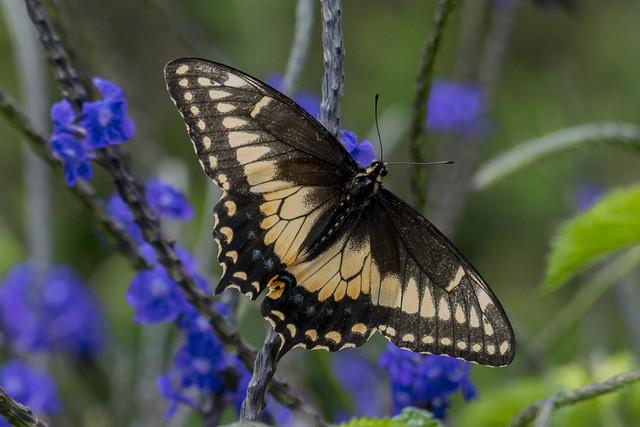Papilio polyxenes americus (Black swallowtail / Papilio de la arracacha)