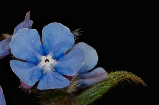 forget-me-not, detail, focus stack