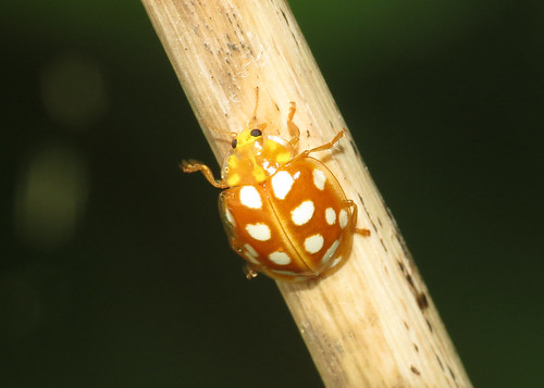 Orange Ladybird - Halyzia sedecimguttata