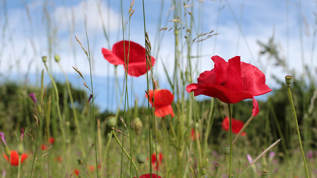Giverny poppy field