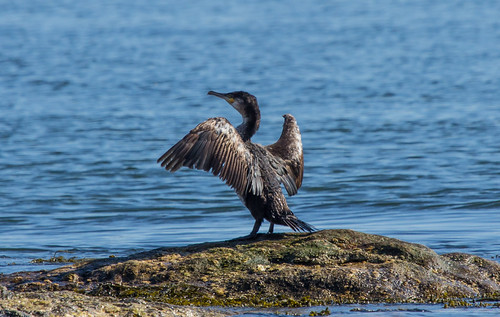 Great Cormorant (well, I'm 98% certain about that)