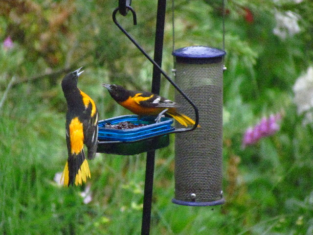 Oriole fight1 6:27:13