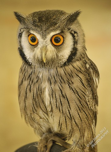 White Faced Scops Owl by Jamo224