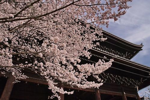 【写真】桜 : 知恩院