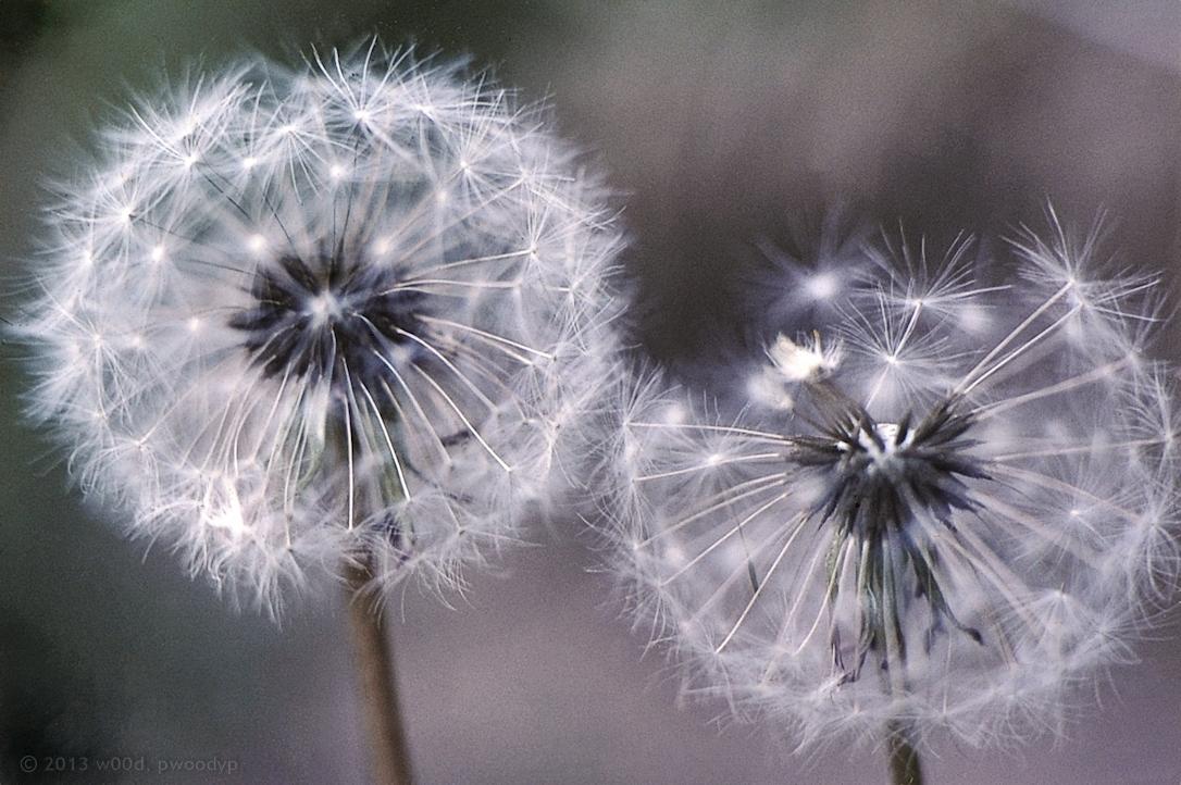 Dandelion Mugshot