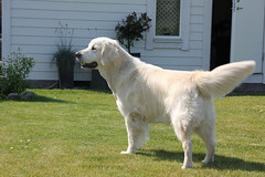 setter(0.0), golden retriever(0.0), dog breed(1.0), labrador retriever(1.0), animal(1.0), dog(1.0), pet(1.0), slovak cuvac(1.0), carnivoran(1.0),