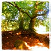 Hoods Tree,Häven,Räuberkuhle,Schleswig-Holstein,Germany