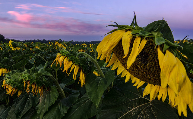 Sunflower Sunrise @ Flamborough, Ontario (Explore #17 - Aug 5, 2013)