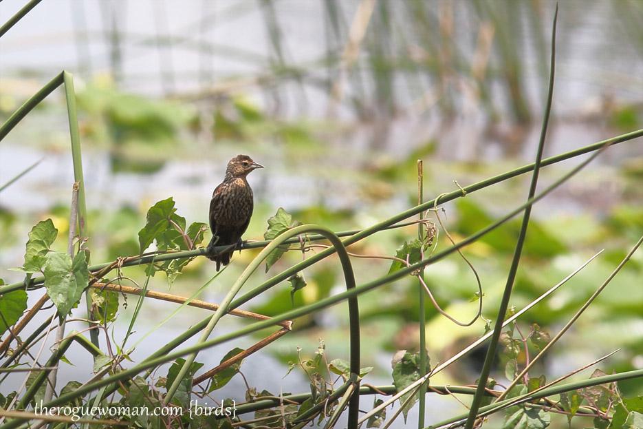 072513_bird_RedWingedBlackbird