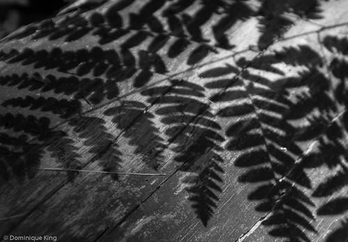 Hartwick Pines ferns B&W