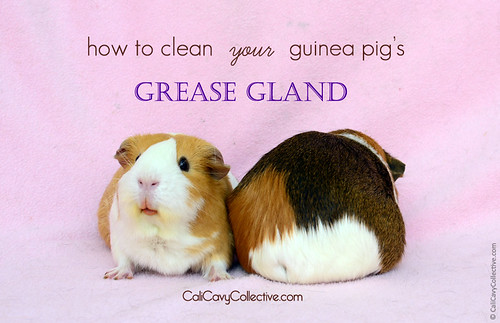 How to Clean Your Guinea Pig's Grease Gland