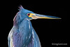 Tricolored Heron on black background by Greg Gard