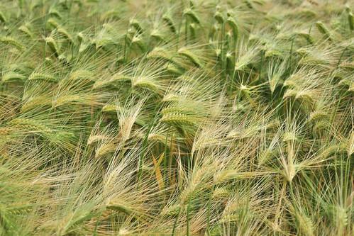 sco_wheat