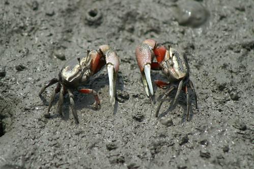 弧邊招潮 (Uca arcuata),分布於東亞與越南的海岸泥灘地,也是紅樹林最常見的招潮蟹之一。(圖片攝影:施習德)