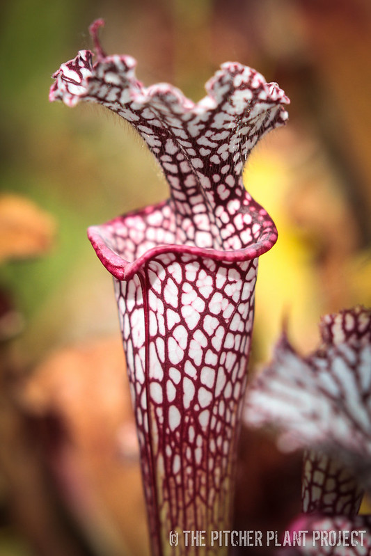 "Sarracenia leucophylla ""Helmut's Delight"""