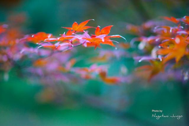 椿谷の紅葉 8