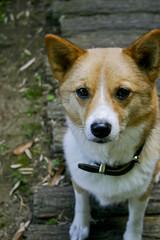 puppy(0.0), dog breed(1.0), animal(1.0), akita inu(1.0), dog(1.0), shiba inu(1.0), pet(1.0), shikoku(1.0), mammal(1.0), east siberian laika(1.0), korean jindo dog(1.0), pembroke welsh corgi(1.0), wolfdog(1.0), saarloos wolfdog(1.0), norwegian lundehund(1.0), icelandic sheepdog(1.0),