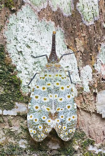 Lantern Bug (Pyrops oculata) IMG_2383 stk copy