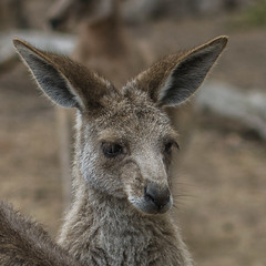 """'I'm NOT smiling', said Little Roo"""