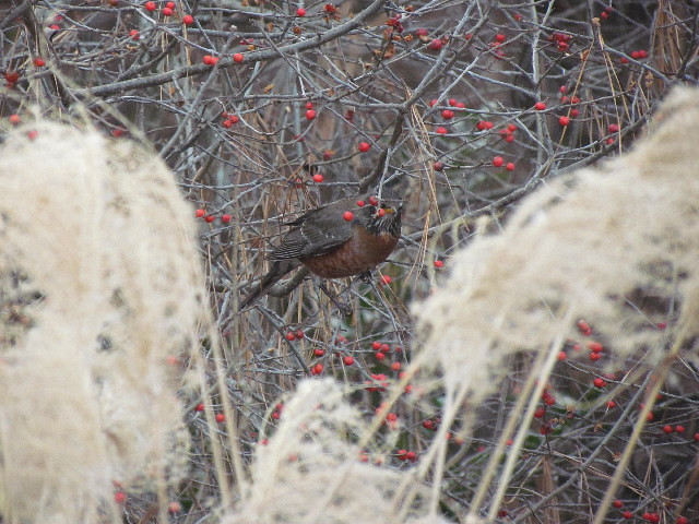 Robin on winterberry3 12:27:13