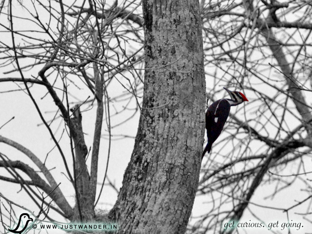 PIC: Cajun Country Swamp Tour - Birding - Pileated Woodpecker