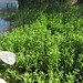 Small photo of Alternanthera philoxeroides habit2c