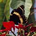 Papilio garamas garamas por K. Zyskowski and Y. Bereshpolova