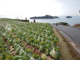 白菜畑 by wishigrow