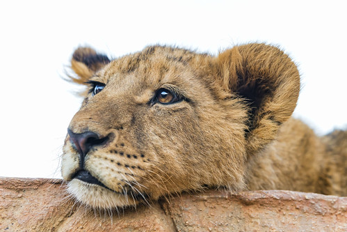 Tired lion cub by Tambako the Jaguar