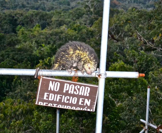 porcupine guatemala wildlife