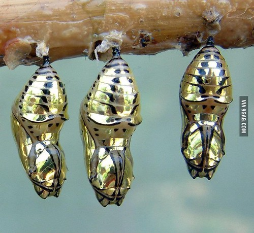 Beautiful-The-chrysalis-of-the-Metallic-Mechanitis-butterfly-from-Costa-Rica
