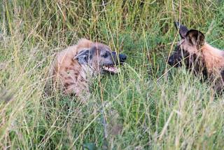Wildhunde konfrontieren eine Tüpfelhyäne